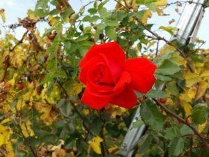 Rose im Weinberg am Schwanberg, Iphofen