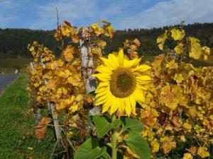 Sonnenblume am Weinberg am Schwanberg, Iphofen